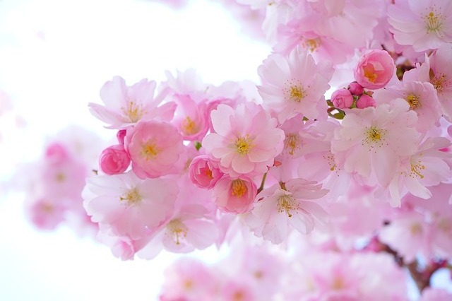japanese cherry trees 324175 640